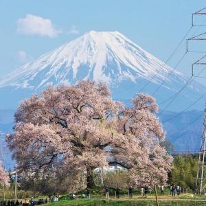 富士山櫻花_わに塚の桜