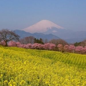 富士山櫻花_大井町篠窪 富士見塚