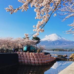 富士山櫻花_河口湖北岸