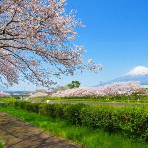 富士山櫻花_潤井川河川敷