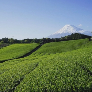 富士山茶園 今宮の茶畑