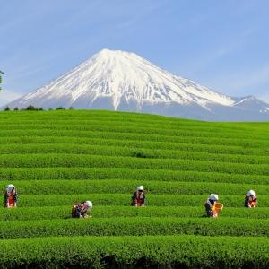 富士山茶園 大淵笹場