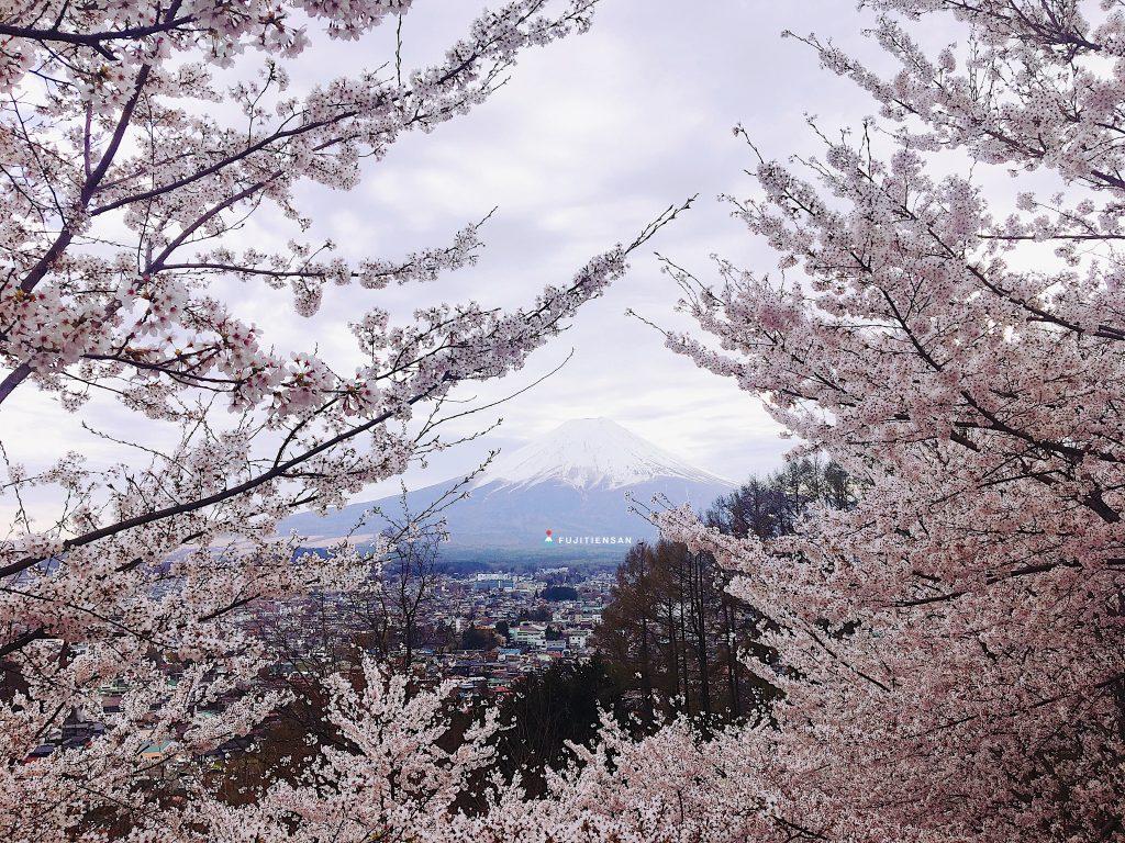 富士山櫻花_新倉山淺間公園4