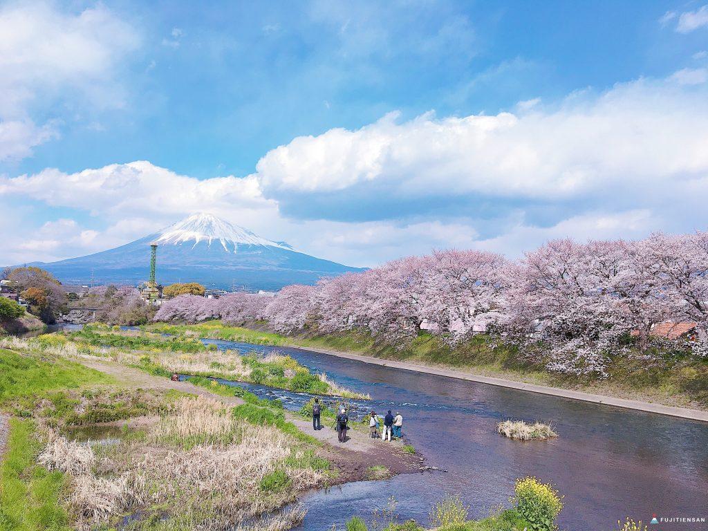 富士山櫻花_潤井川龍巖淵3