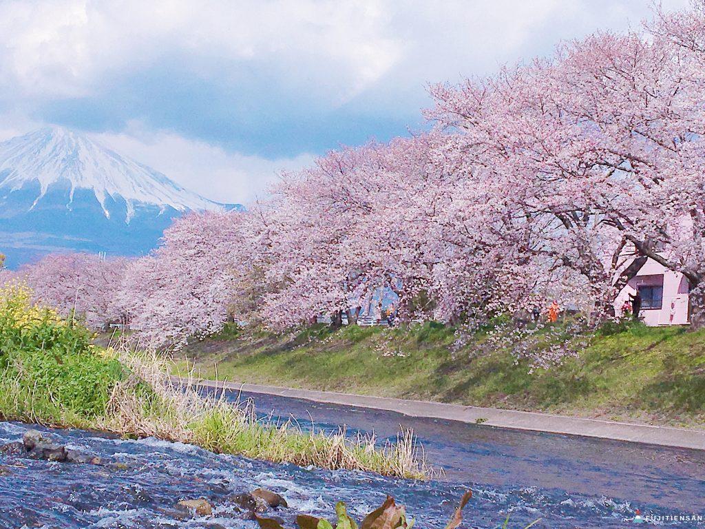 富士山櫻花_潤井川龍巖淵5
