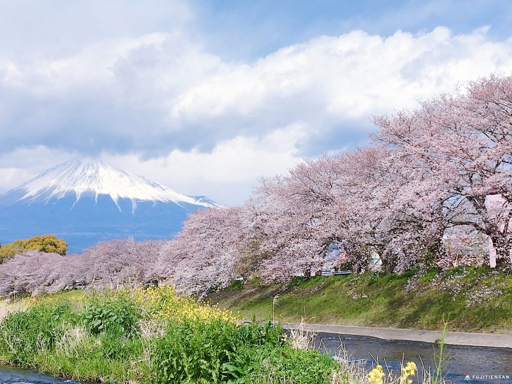 富士山櫻花_潤井川龍巖淵4