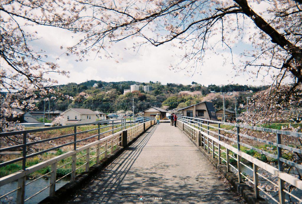 富士山櫻花_潤井川龍巖淵_橋上