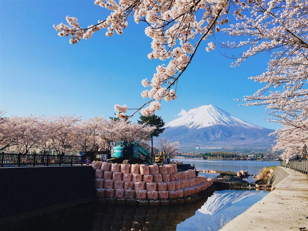 富士山櫻花_河口湖北岸2