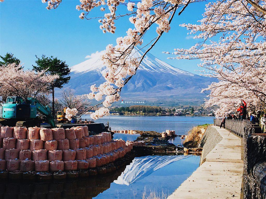 河口湖北岸櫻花富士山