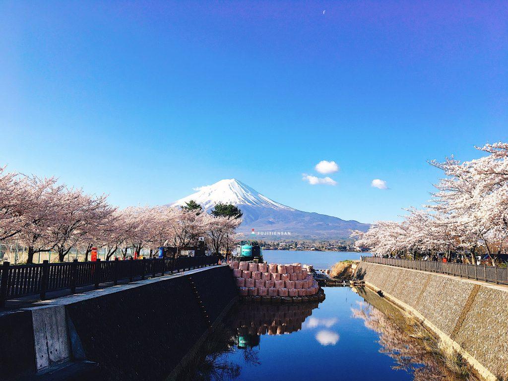 富士山櫻花_河口湖北岸1