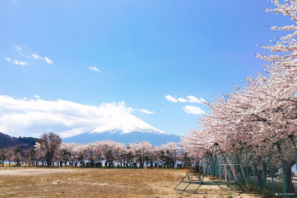 富士山櫻花_河口湖北岸4