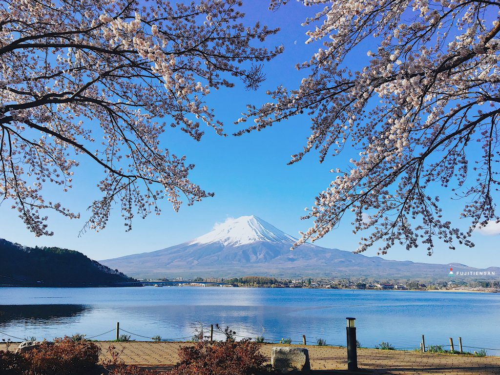 富士山櫻花_河口湖北岸5